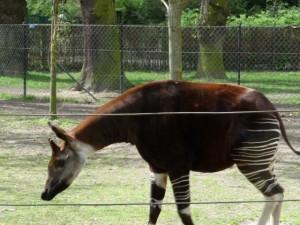 Okapi at Copenhagen Zoo